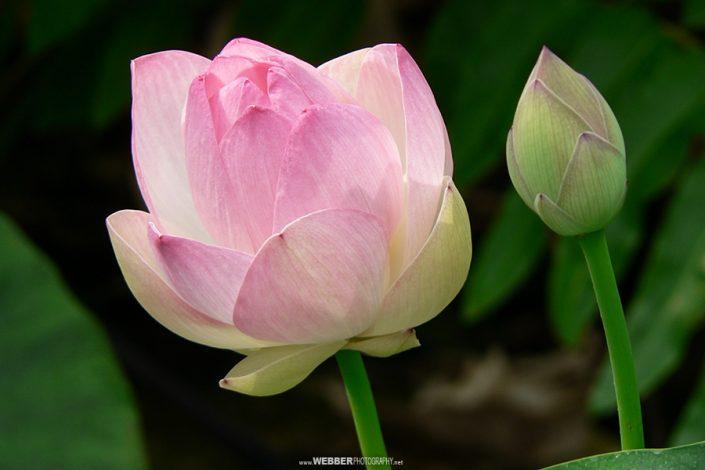 Sacred lotus : Webber Photography