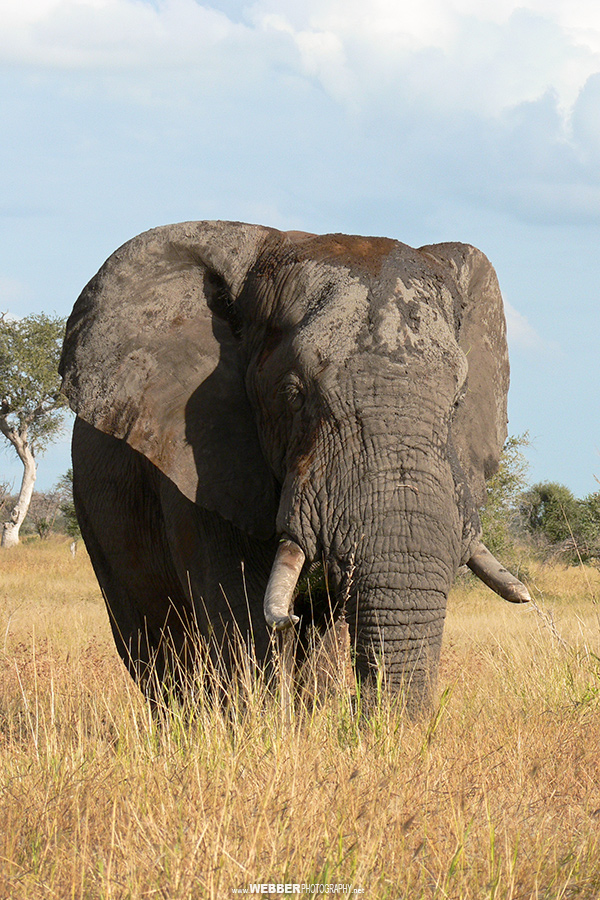 African elephant : Webber Photography