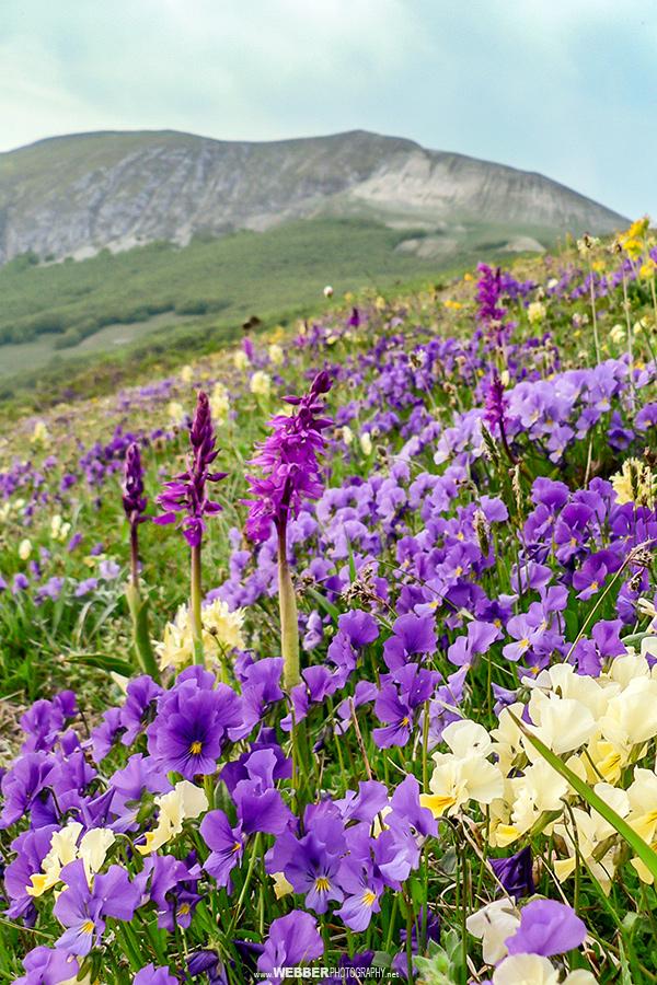 Alpine meadow : Webber Photography