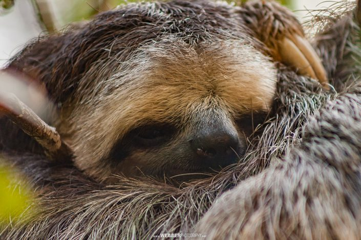 Brown-throated three-toed sloth : Webber Photography