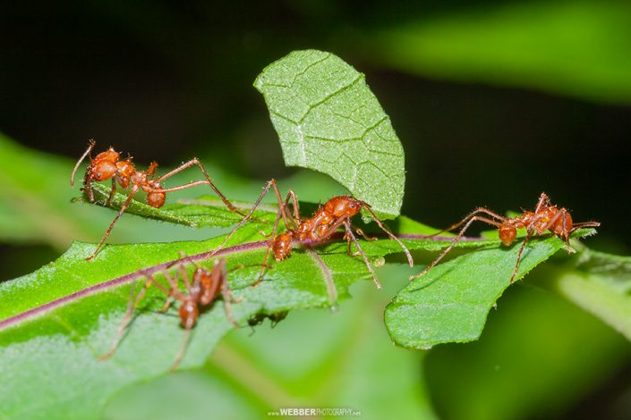 Leafcutter ants : Webber Photography