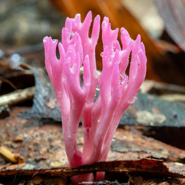Coral fungi : Webber Photography