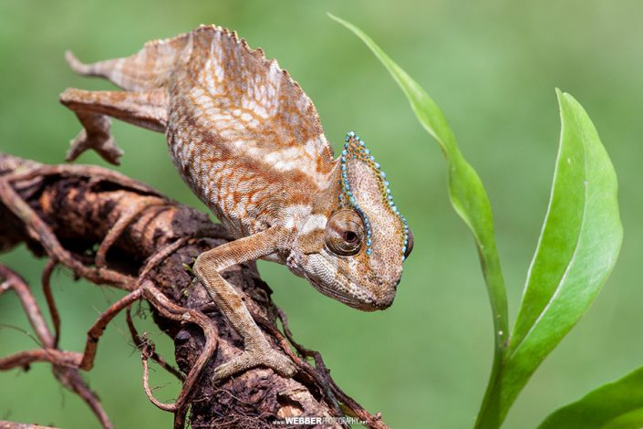 Crested chameleon : Webber Photography