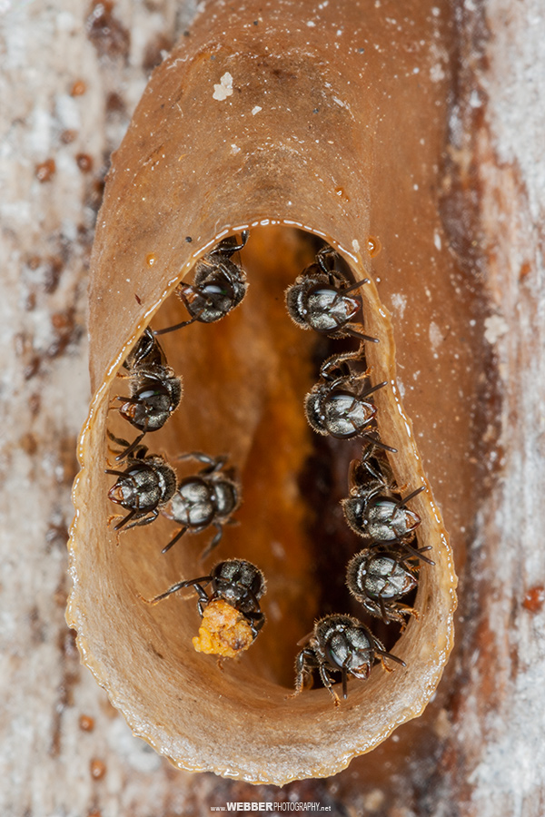 Stingless bees : Webber Photography