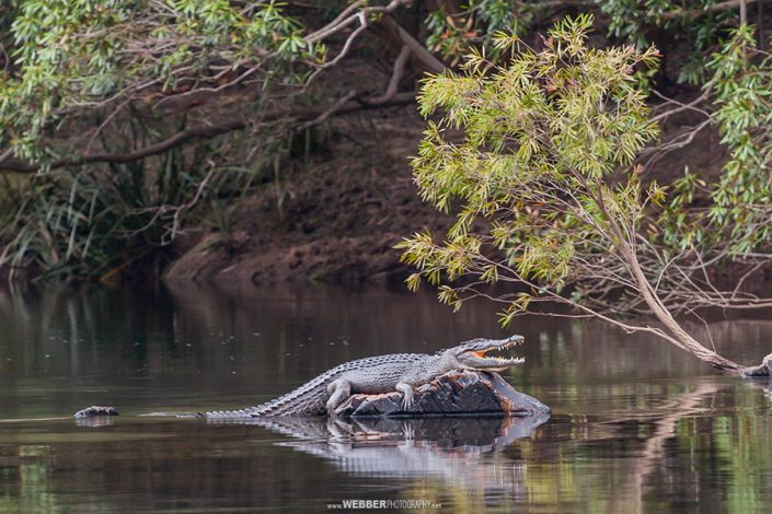 Saltwater crocodile : Webber Photography