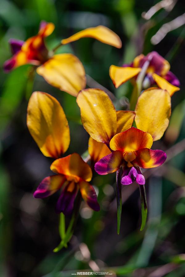 Donkey orchid : Webber Photography