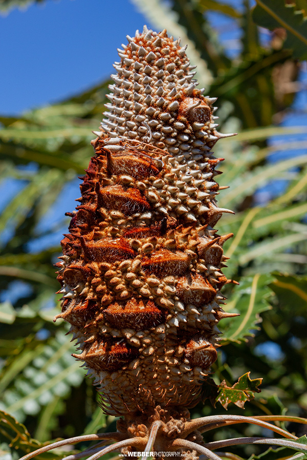 Banksia : Webber Photography