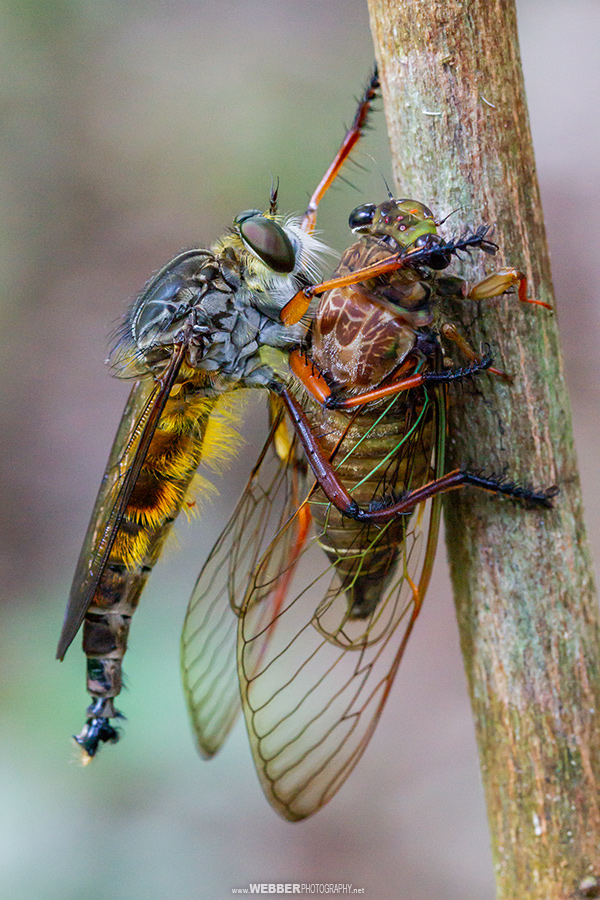 Robber fly with cicada : Webber Photography
