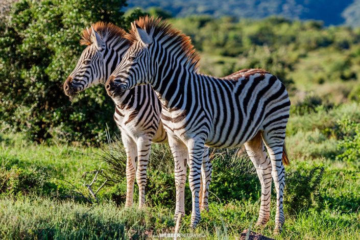Burchell's zebra : Webber Photography