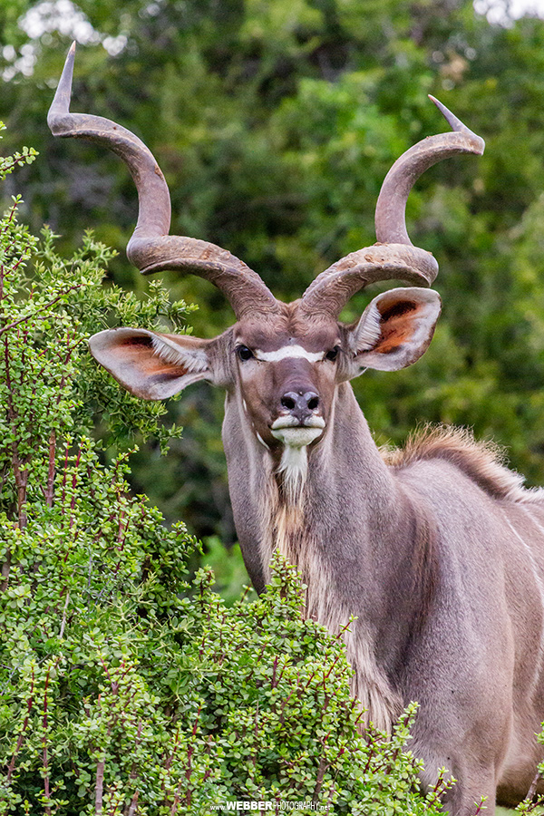 Greater kudu : Webber Photography