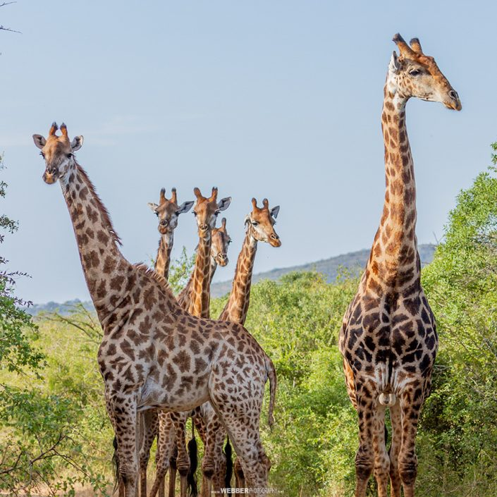 Giraffe tower : Webber Photography