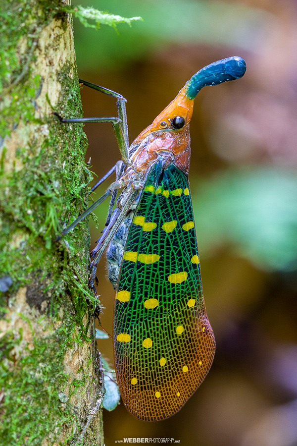 Lantern bug : Webber Photography