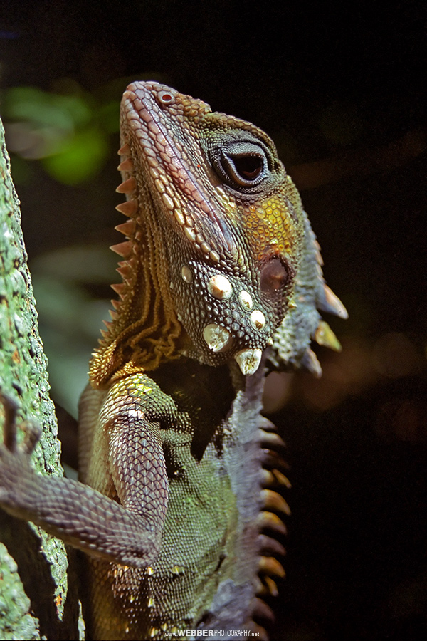 Boyd's forest dragon : Webber Photography