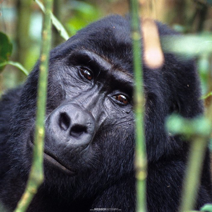 Mountain gorilla : Webber Photography